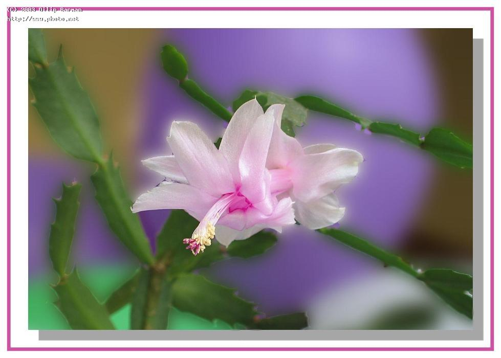 christmas cactus schlumbergera bridesii bloom barman dilip