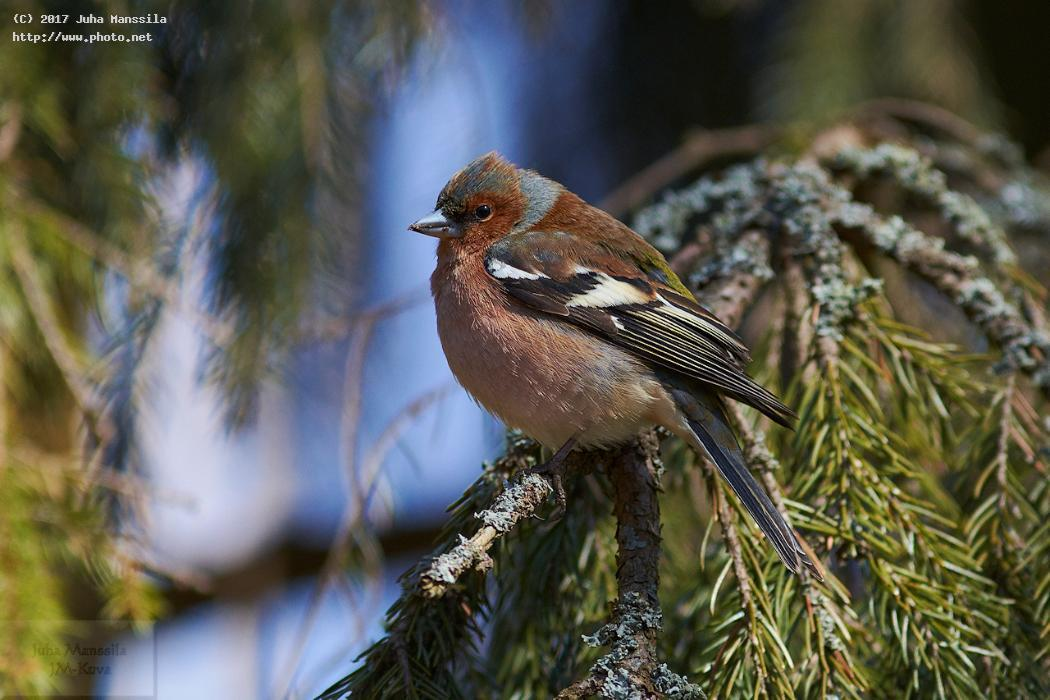 common chaffinch nature birds bird wild wildlife fringilla coelebs manssila juha