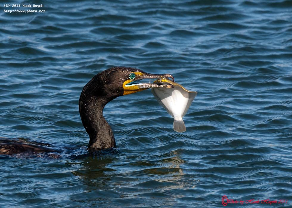 cormorant catching a fish please view larger seeking critique huynh hanh