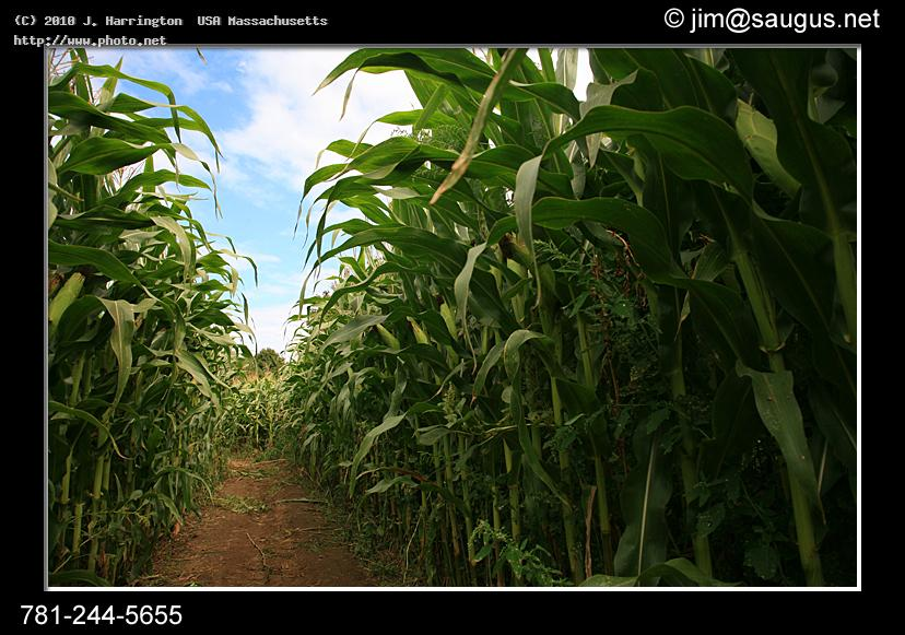 corn field maze photo plants stalks stalk path farm sky crop harvest maz harrington usa massachusetts j