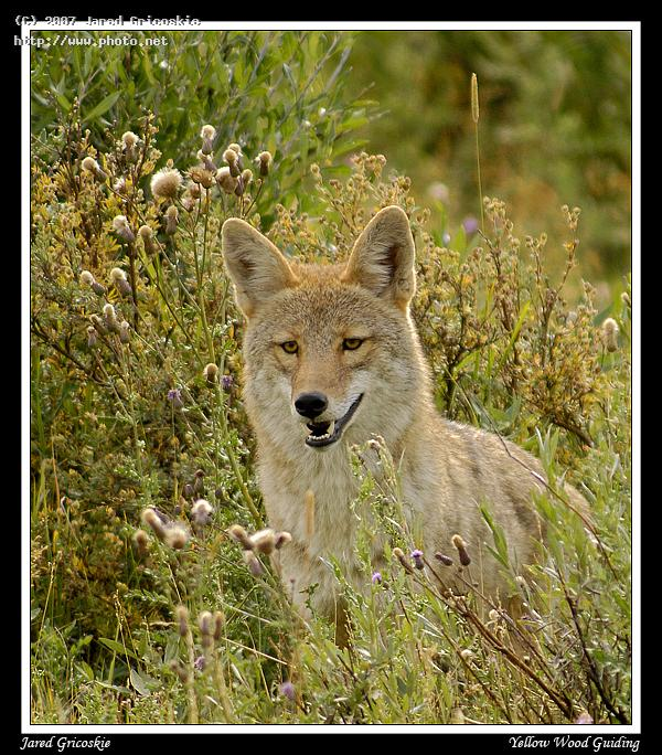 coyote in the grass gricoskie jared