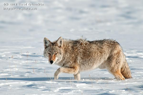 coyote leg up in the snow gricoskie jared