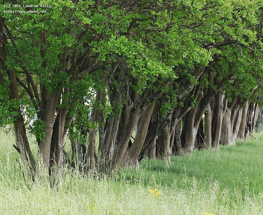 crepe myrtles in a row seeking critique kelly landrum