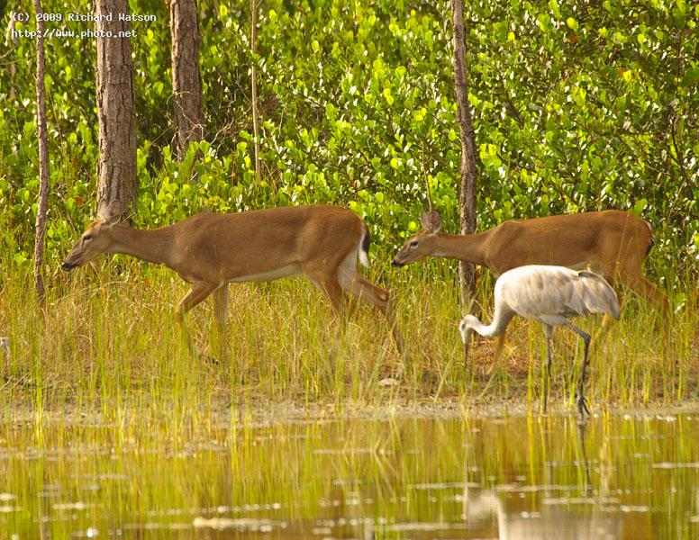 deer and sandhill west palm beach watson richard