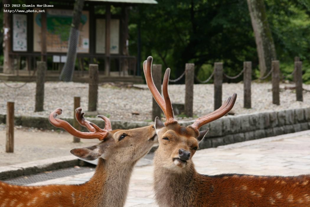 deer in nara park japan morikawa chamin