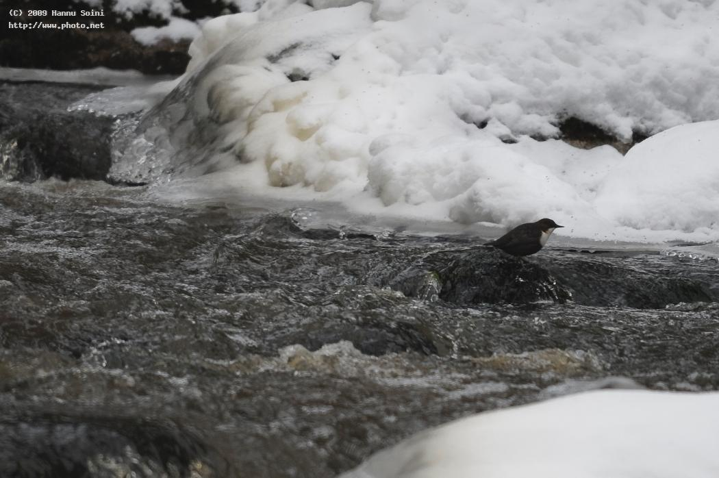 dippers habitat finland seeking critique soini hannu