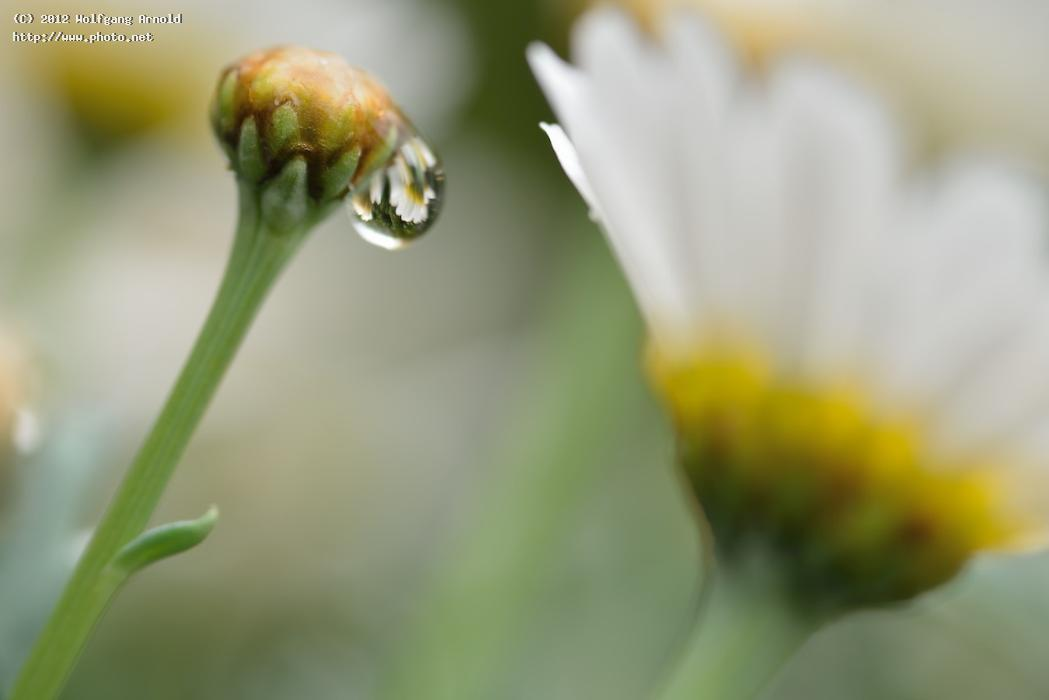 drop rain maguerite flower macro seeking critique arnold wolfgang