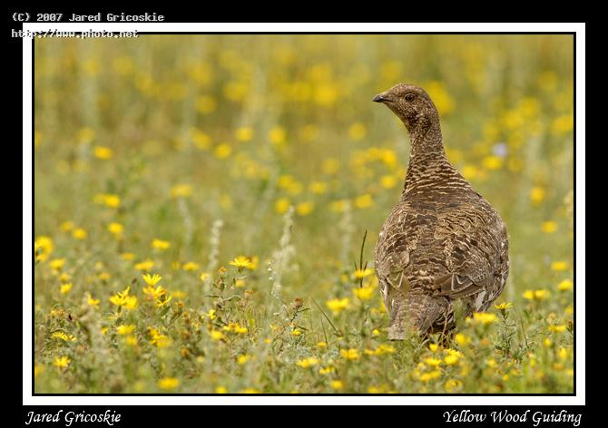 dusky grouse female formerly blue seeking critique gricoskie jared