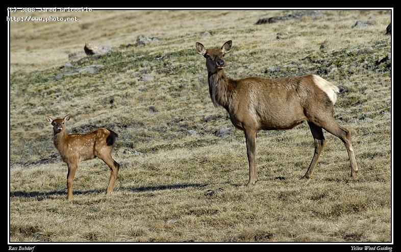 elk and calf by ross buhdorf rocky mountain national park gricoskie jared