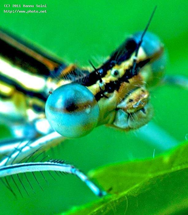 eyes set to kill leica maidenfly insect seeking critique soini hannu