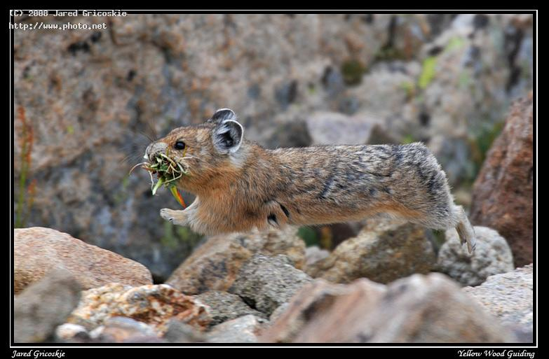 flying american pika rocky nikon d national park n gricoskie jared