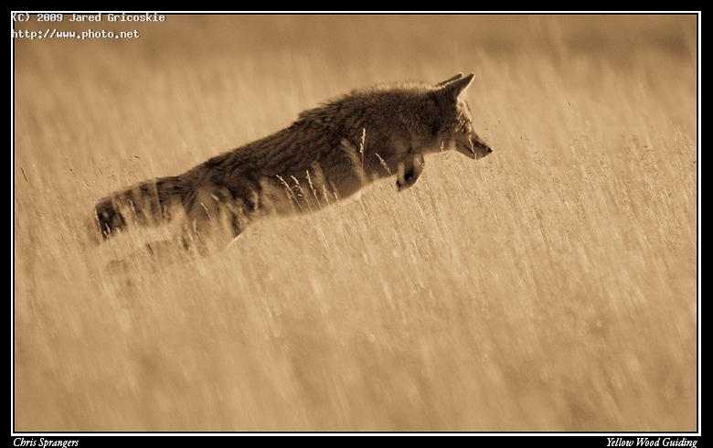 flying coyote by chris sprangers gricoskie jared