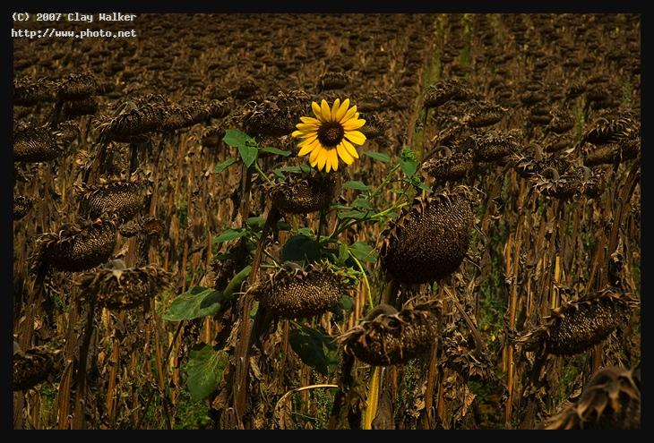 girasoli walker clay