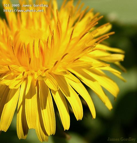 golden sunshinea weed by any other name seeking critique gordley james