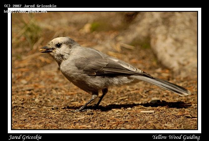 gray jay aka camper robber gricoskie jared