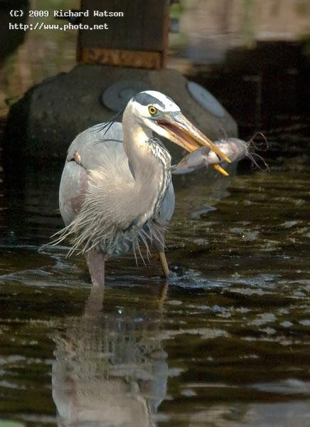 great blue heron gwps west palm beach watson richard