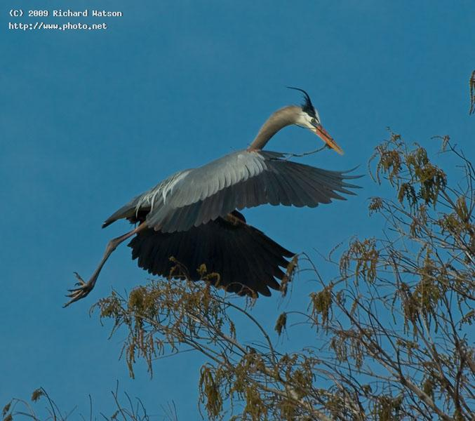 great blue heron lnwr loxahatchee watson richard