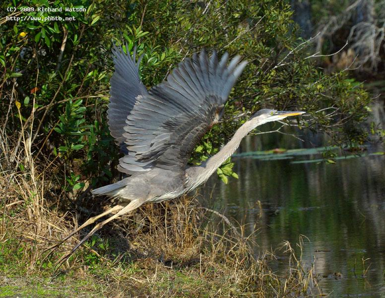 great blue heron west palm beach watson richard