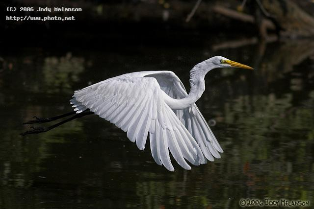 great egret seeking critique melanson jody