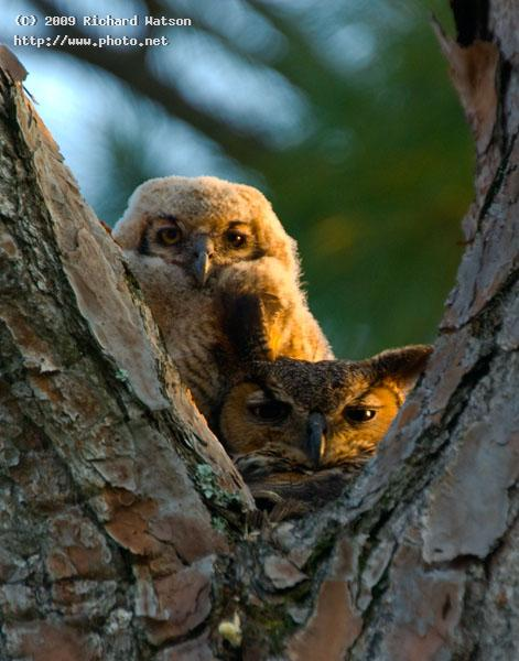 great horned owl mom and chick west palm beach watson richard