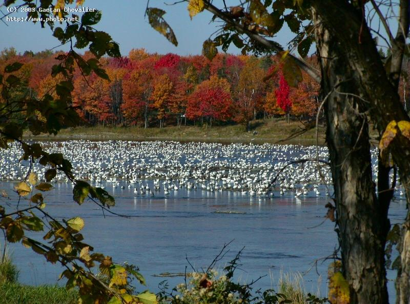 greater snow goose in chaudiere river beauce quebe canada gaetanchevalier couleurs colors quebec auto chevalier gaetan