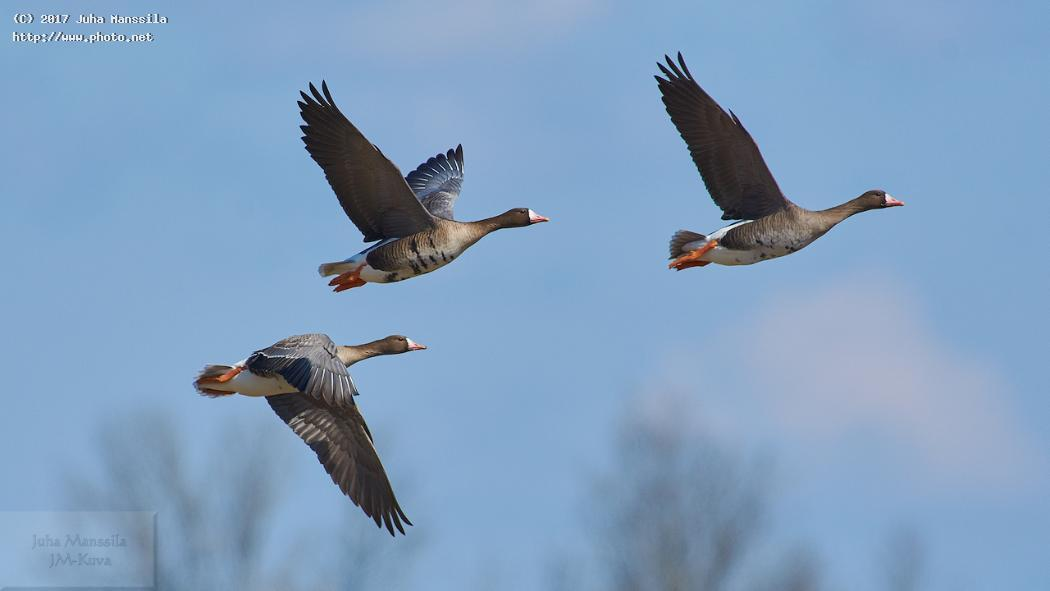 greater white fronted goose nature bids bird wild wildlife anser albifrons manssila juha