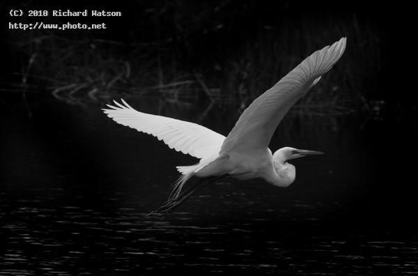 gwps edit editgreategretbw birds egret wildlife seeking critique watson richard