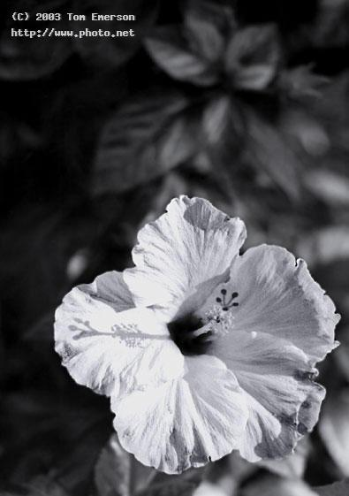 hibiscus film emerson tom