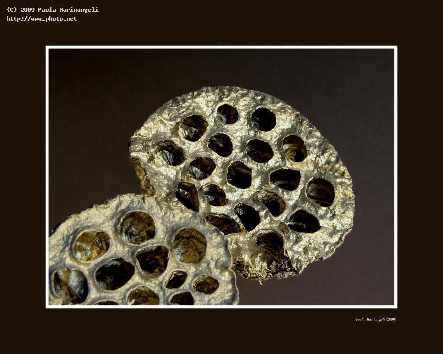 Holes nr dried lotus flowers gallery abstract floralia 09 tags holes nr 1 dried lotus flowers mightylinksfo