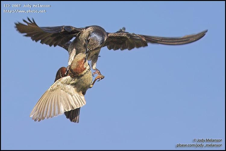 house sparrow and purple martin fighting seeking critique melanson jody