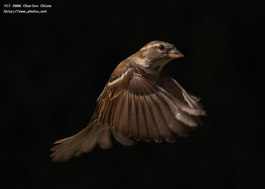 house sparrow in flight seeking critique chien charles