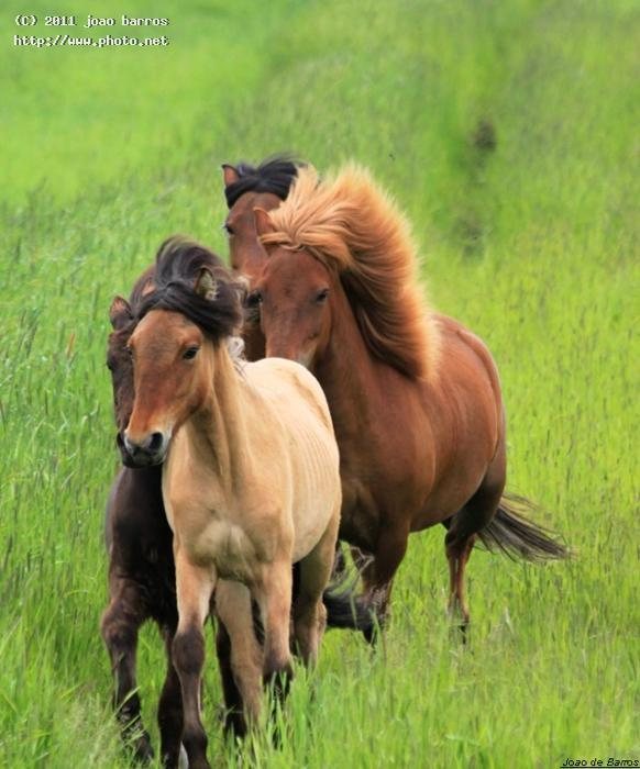 icelandic horses freedom nature horse animal iceland barros joao