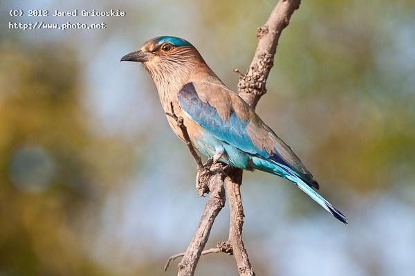 indian roller gricoskie jared