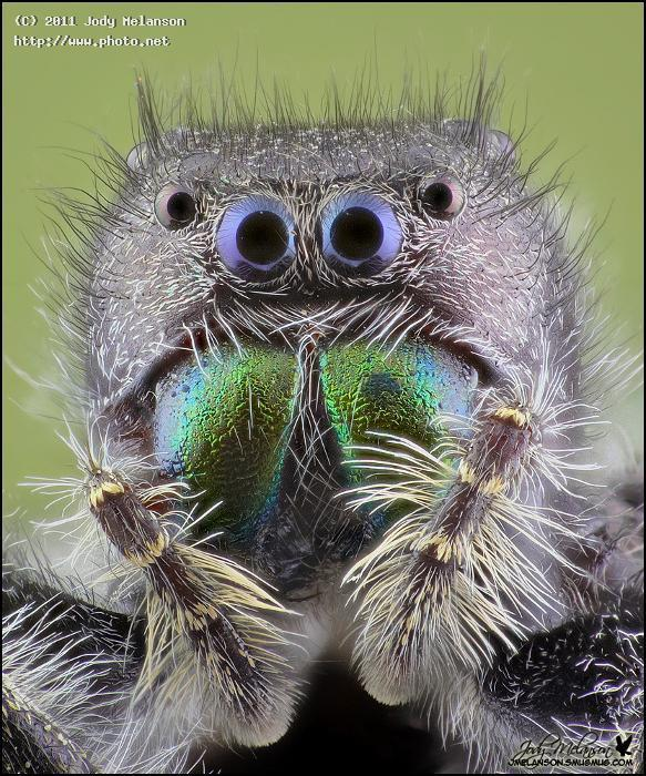 jumping spider seeking critique melanson jody
