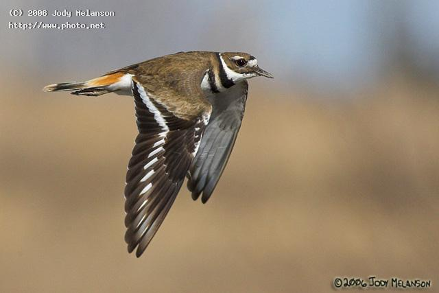 killdeer in flight seeking critique melanson jody