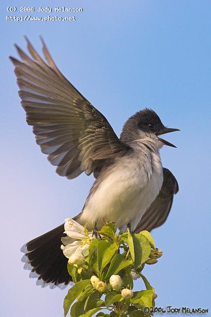 kingbird seeking critique melanson jody