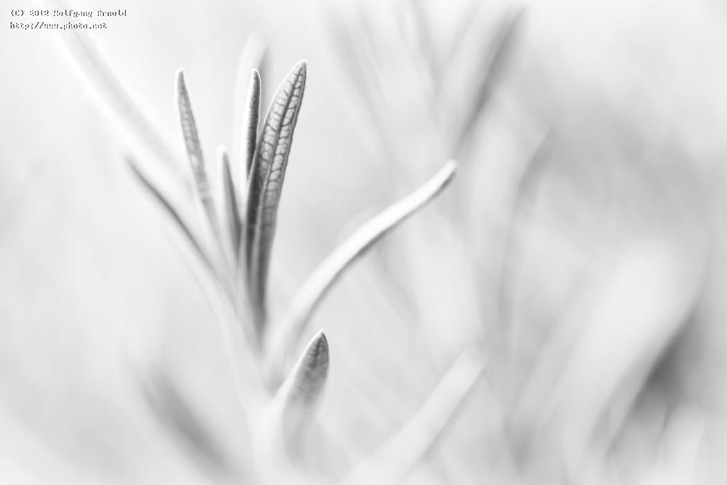 lavender leaves key monochromatic high bw seeking arnold wolfgang