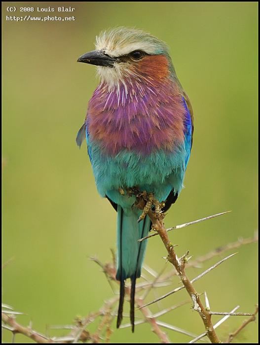 lilac breasted roller scandisc sandisk extreme iii gb sigma super blair louis