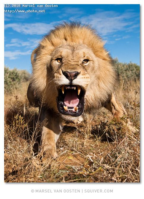 lion charge south africa squiver marsel attack tours workshops van oosten