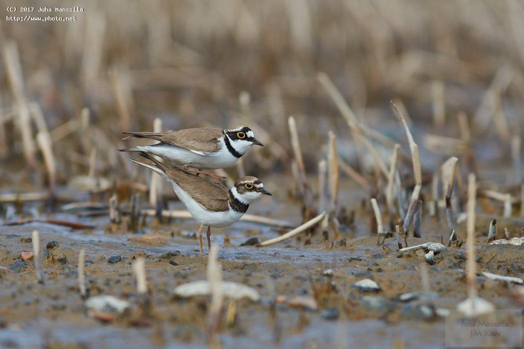 little ringed plover nature birds bird wild wildlife charadrius dubius manssila juha