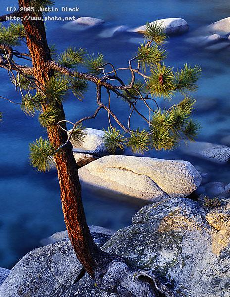 lone jeffrey pine over a rocky cove lake tahoe seeking critique black justin