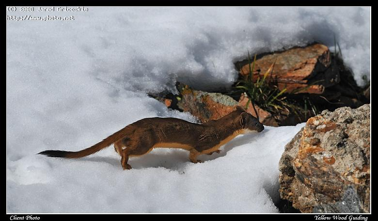 long tailed weasel by mike petcher nikon d rocky mountain na gricoskie jared
