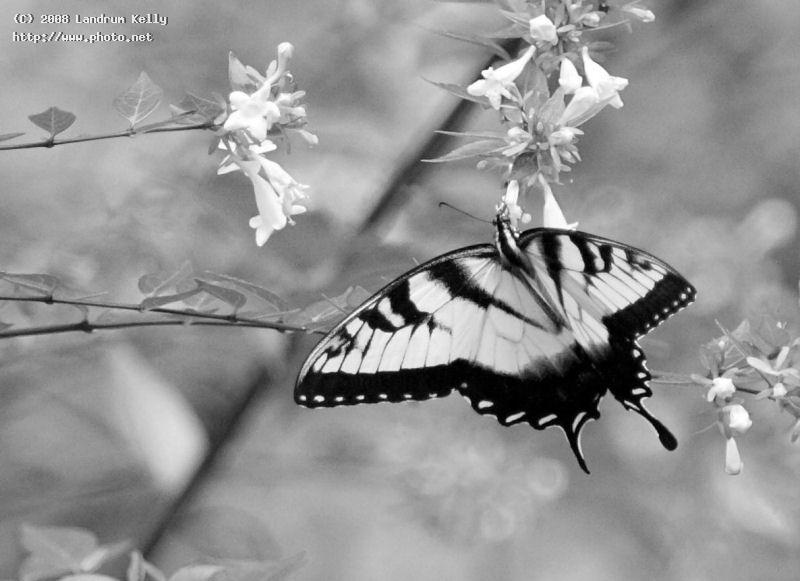 madame butterfly bw nikon mm f canon eos d salisbury mada kelly landrum