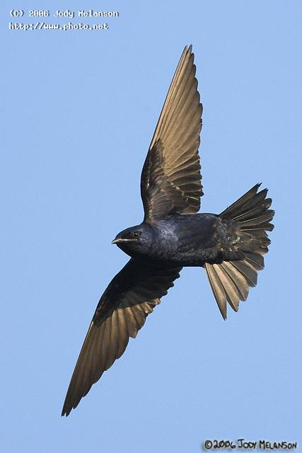 male purple martin seeking critique melanson jody