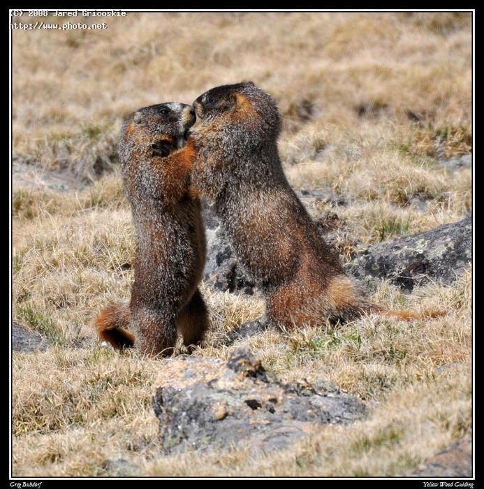 marmot fight by greg buhrdorf rocky mountain national gricoskie jared
