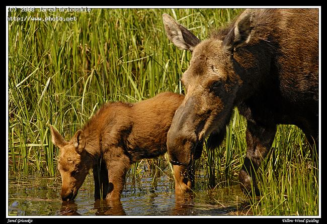moose and calf drink nikon d park national mountain rocky mo gricoskie jared