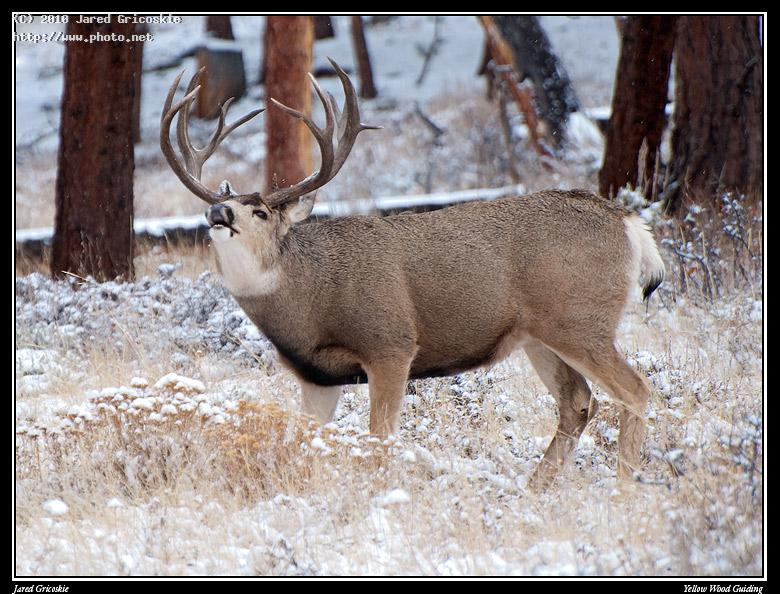 mule deer flehmen behavior gricoskie jared