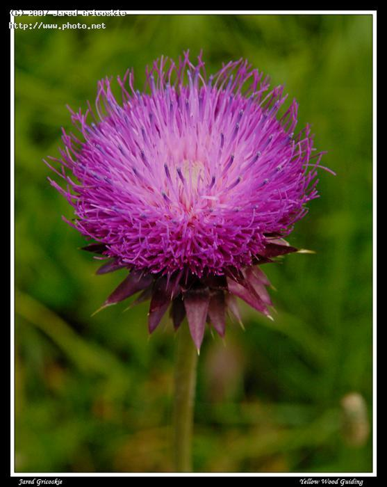 musk thistle head gricoskie jared