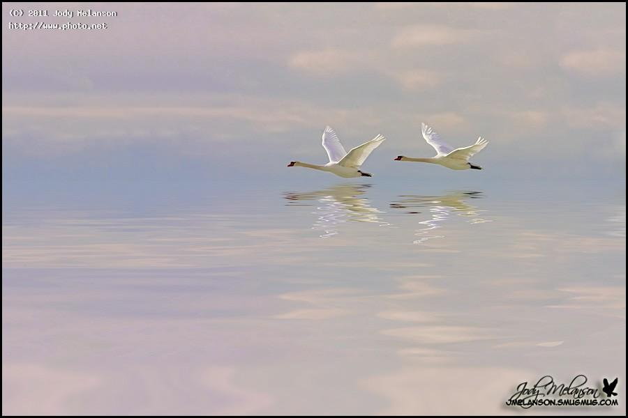 mute swans on lake ontario swan seeking critique melanson jody