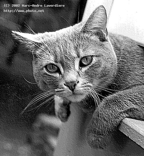 my cat outside used an engraving effect with grays laverdiere marc andre